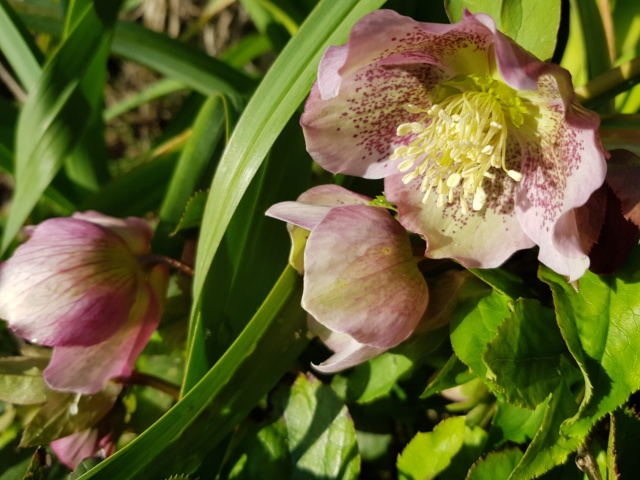 Helleborus niger ou Rose de noel ou Hellebore - Page 36 20200125