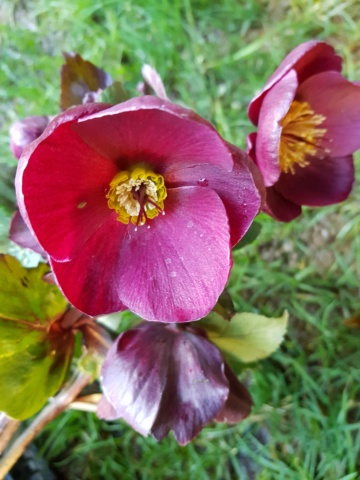 Helleborus niger ou Rose de noel ou Hellebore - Page 36 20200127