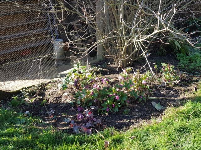 Helleborus niger ou Rose de noel ou Hellebore - Page 36 20200129