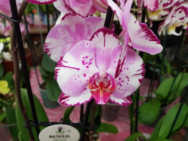 Phalaenopsis - Page 39 20200135
