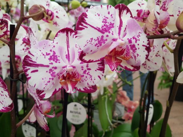 Phalaenopsis - Page 39 20200136
