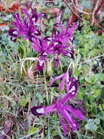 Iris reticulata - Page 9 20200218