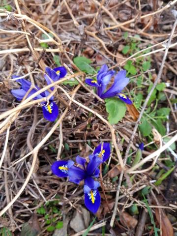Iris reticulata - Page 9 20200219