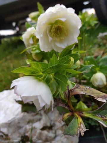 Helleborus niger ou Rose de noel ou Hellebore - Page 37 20200220