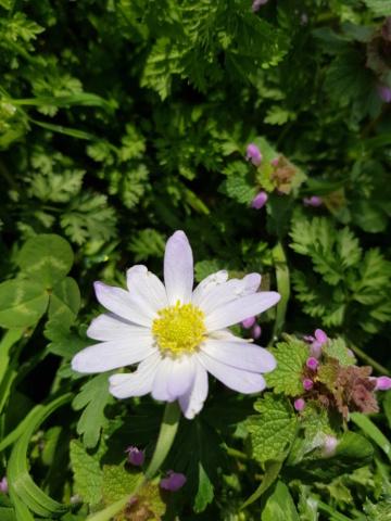 Anemona blanda - Page 6 20200313