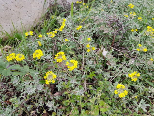Corbeille d'or, Allyssum saxatile - Page 2 20200316