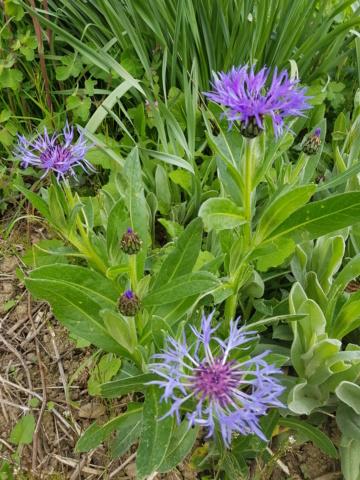 Centauréa montana (bleuet vivace) - Page 4 20200413
