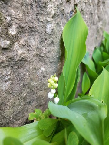 Convallaria majalis, Muguet. - Page 3 20200414