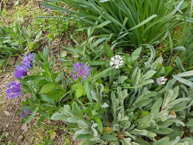 Centauréa montana (bleuet vivace) - Page 4 20200434