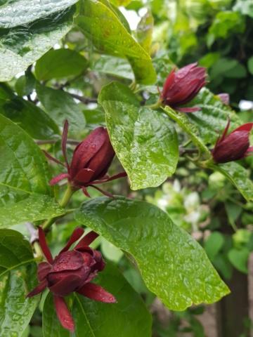 Calycanthus floridus - arbre aux anémones - Page 2 20200441