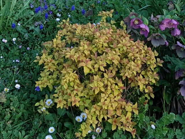 Quel est cet arbuste ? 20210318