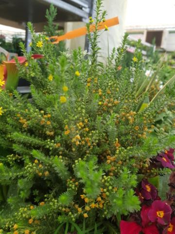 petite plante à fleurs jaunes 20210410