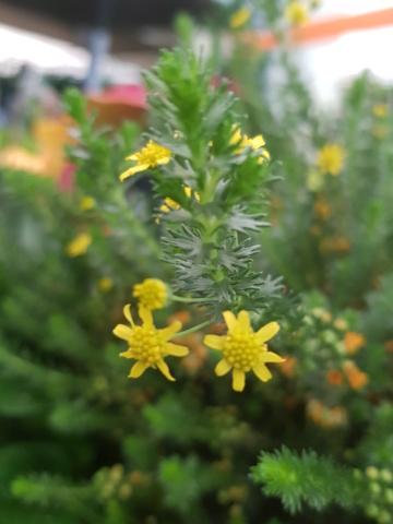 petite plante à fleurs jaunes 20210411