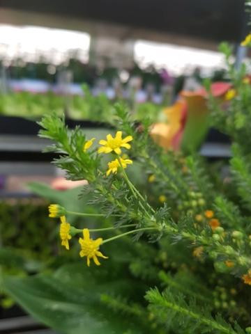 petite plante à fleurs jaunes 20210412