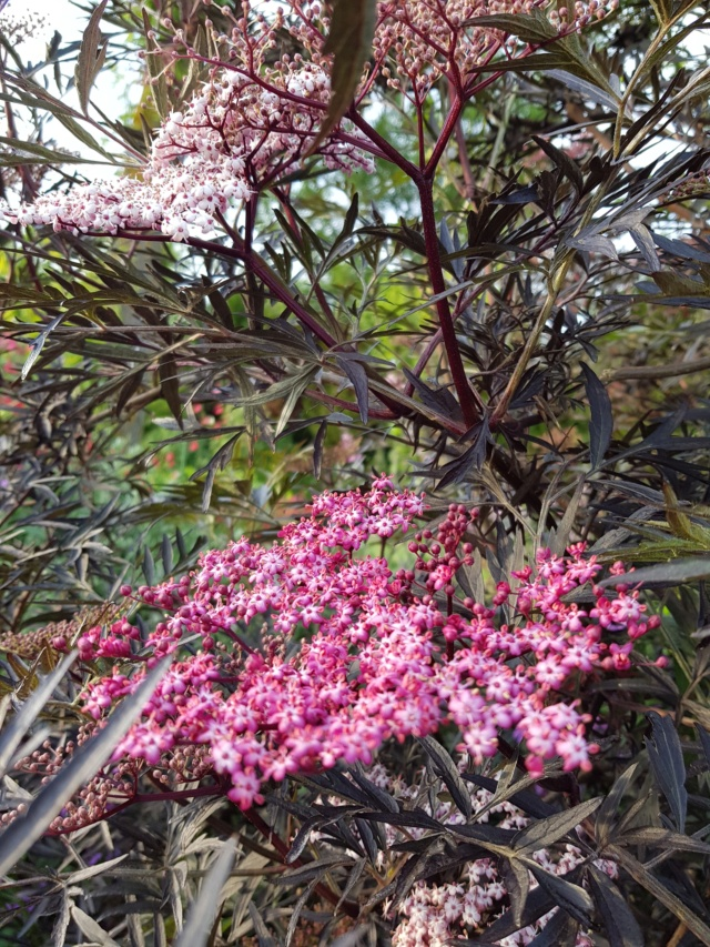 Sambucus nigra et cultivars - sureau noir - Page 3 Black_10
