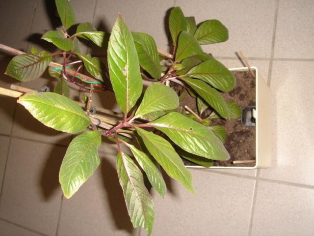 même plante ou pas ? Dsc08710