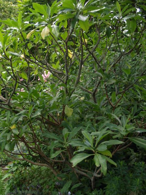 Edgeworthia chrysantha Edgewo10