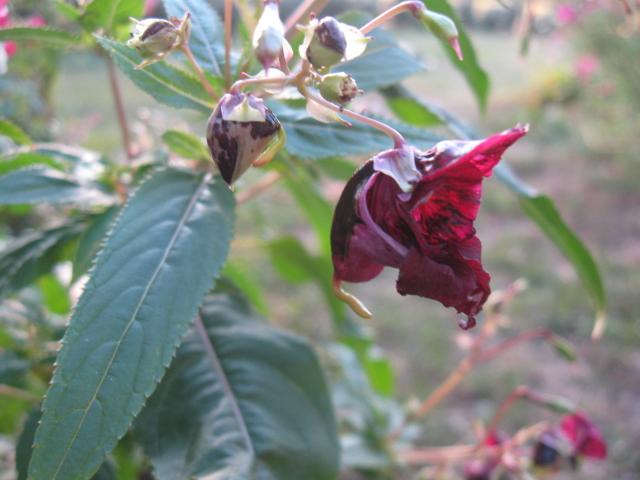 Impatiens glandulifera - balsamine de l'Himalaya  - Page 4 Img_3810