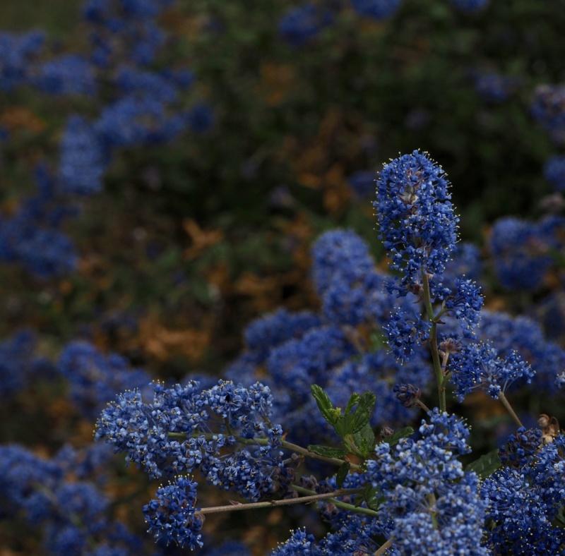 Nature morte bleue ( céanothe  ) 20050410