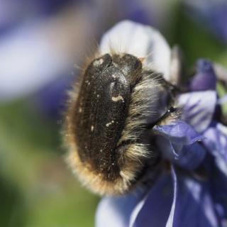 coléoptère amateur de violettes Fullsi14
