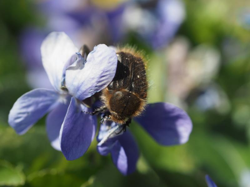 coléoptère amateur de violettes P4040910