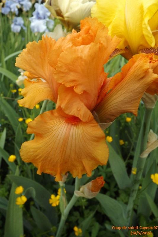 Iris 'Coup de soleil' - Cayeux 2006 Dscf1210