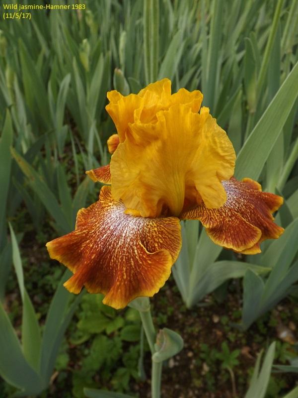 Iris 'Wild Jasmine' - Bernard Hamner 1983 Dscf2411