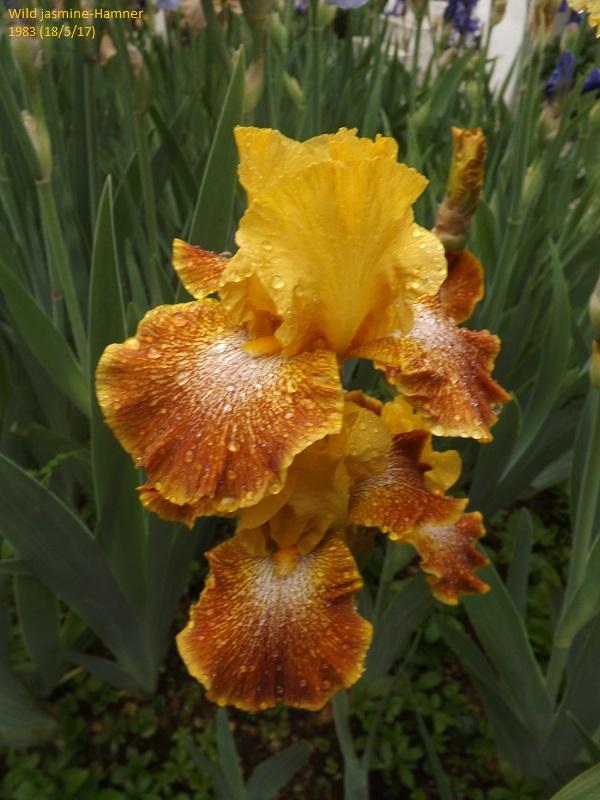Iris 'Wild Jasmine' - Bernard Hamner 1983 Dscf2611