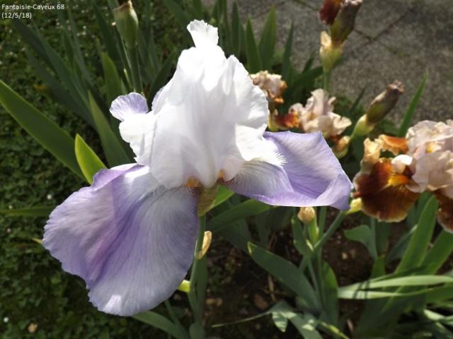 Iris à identifier (114) Dscf3212