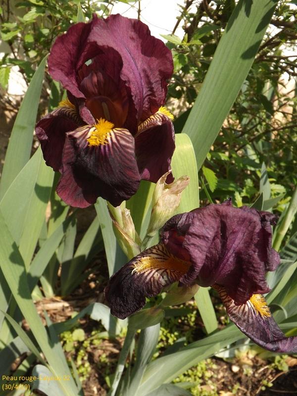 Iris 'Peau Rouge' - Cayeux 1922 Dscf3426