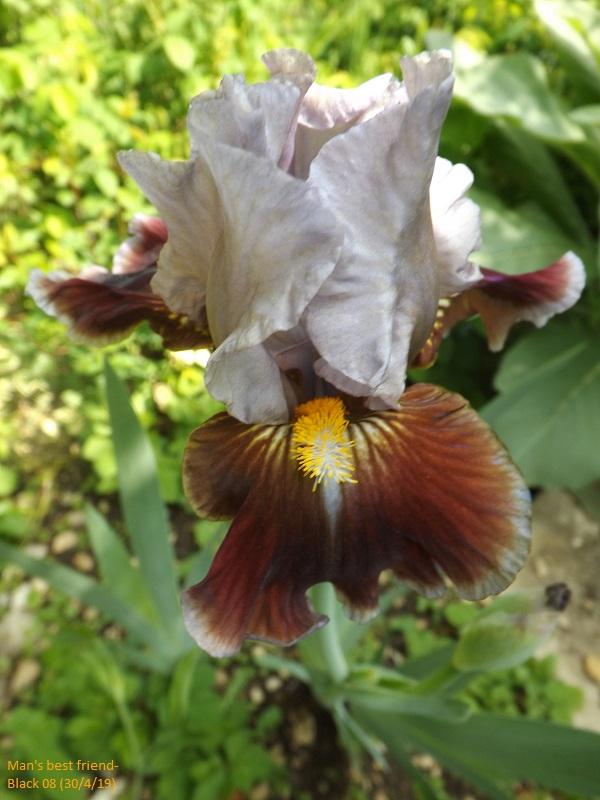 Iris 'Man's Best Friend' - Paul Black 2008 Dscf3427