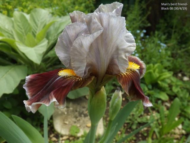 Iris 'Man's Best Friend' - Paul Black 2008 Dscf3428