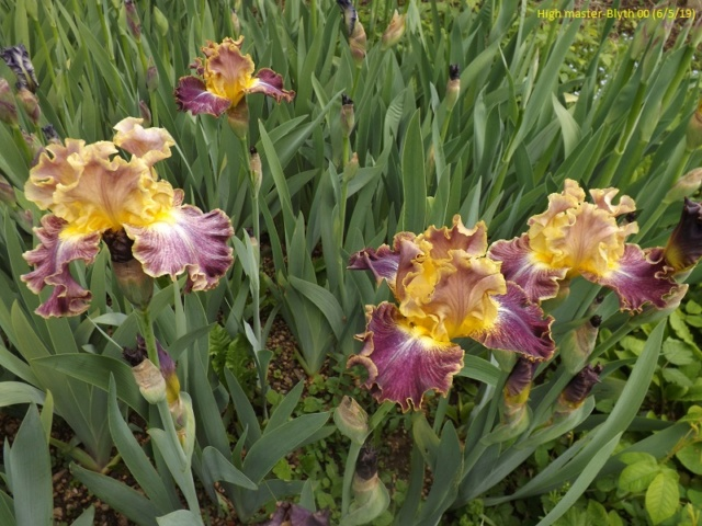 Iris 'High Master' - Blyth 2000 Dscf3515