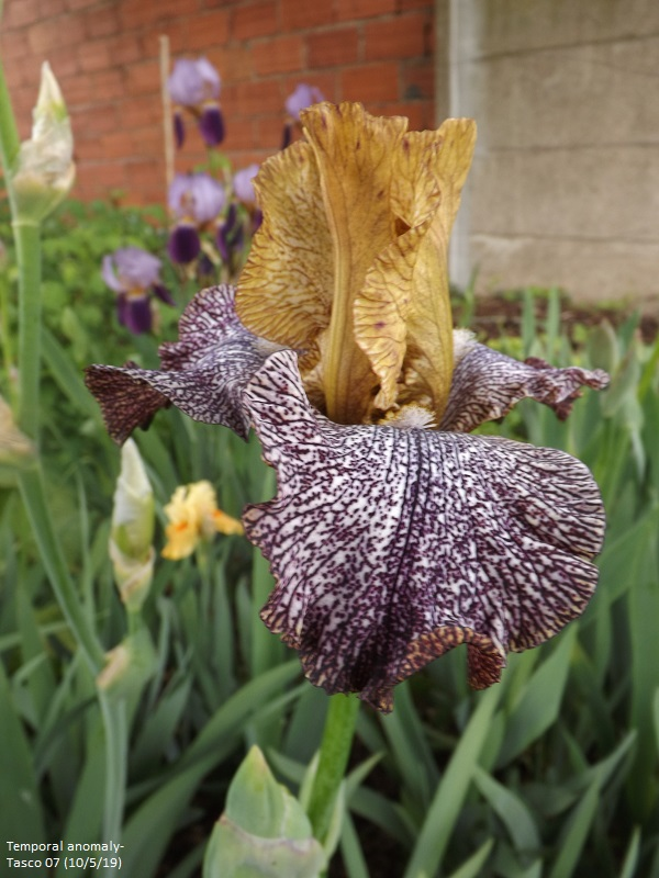 Iris 'Temporal Anomaly' - Tasco 2007 Dscf3530