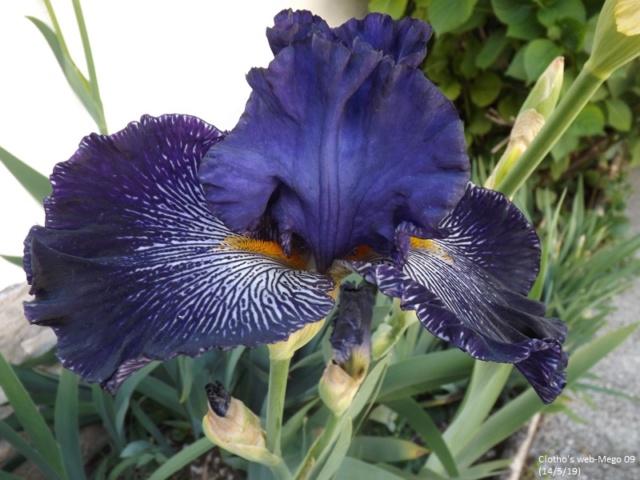 Iris 'Clotho's Web' - Anton Mego 2009 Dscf3543