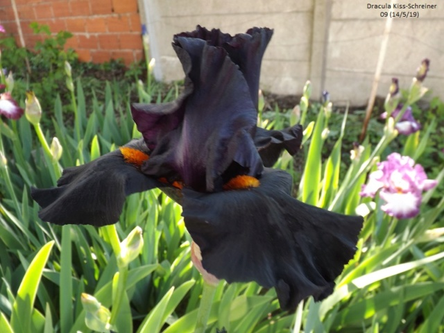 Iris 'Dracula Kiss' - Schreiner 2009 Dscf3544