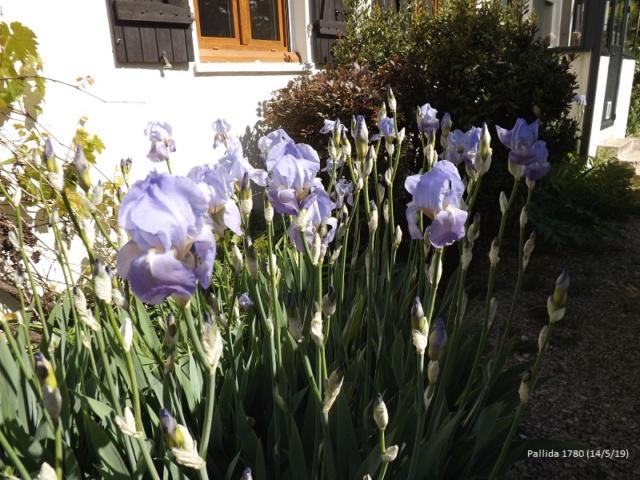 Iris pallida - groupe pallida - Page 2 Dscf3548
