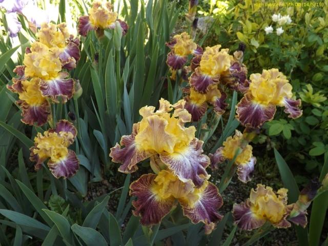 Iris 'High Master' - Blyth 2000 Dscf3554