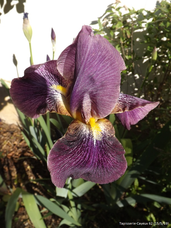 Iris 'Tapisserie' - Cayeux 1962 Dscf3557