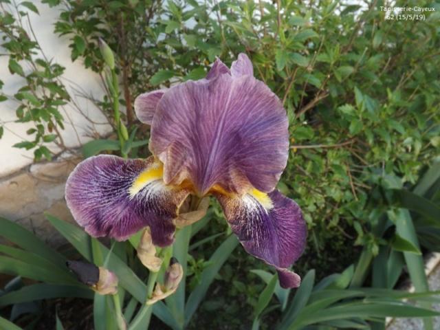 Iris 'Tapisserie' - Cayeux 1962 Dscf3558