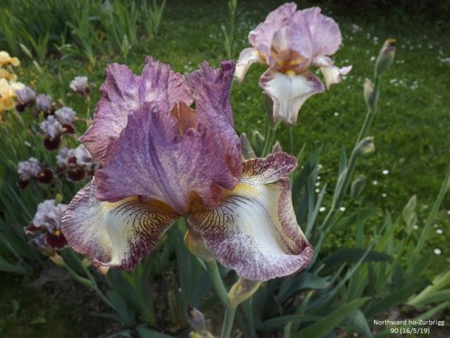 Iris 'Northward Ho' - Lloyd Zurbrigg 90 Dscf3618