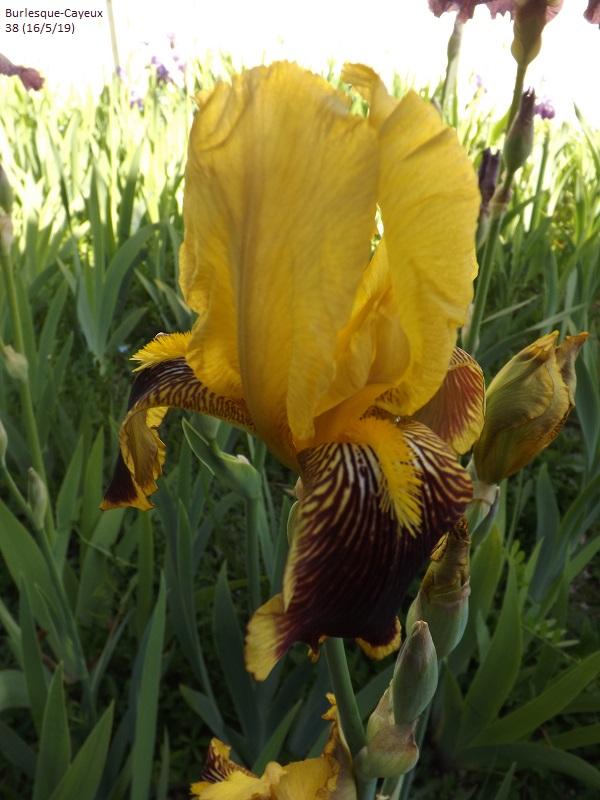 Iris variegata beige et violet - Flora [identification en cours] - Page 2 Dscf3621