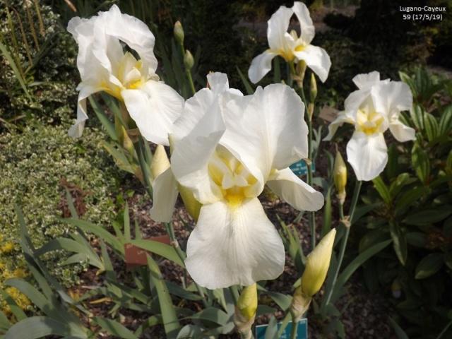 Les iris du Jardin Botanique de Mulhouse Dscf3624