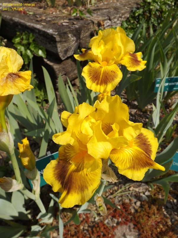 Les iris du Jardin Botanique de Mulhouse Dscf3627