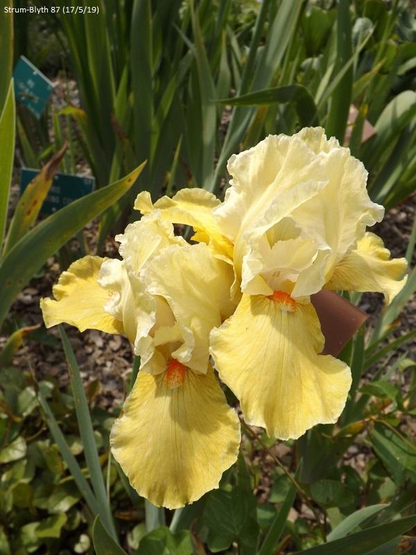 Les iris du Jardin Botanique de Mulhouse Dscf3644