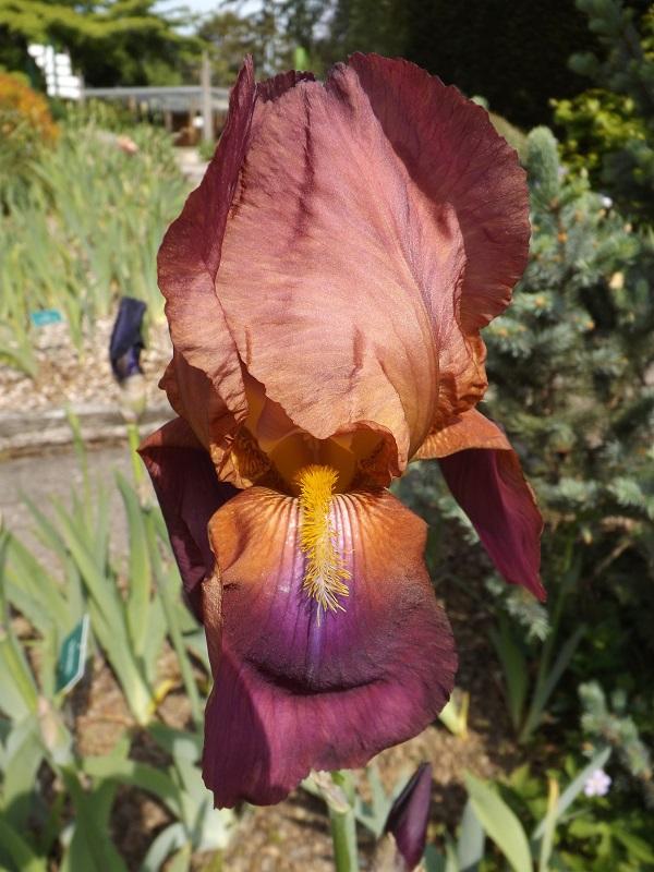 Les iris du Jardin Botanique de Mulhouse Dscf3645