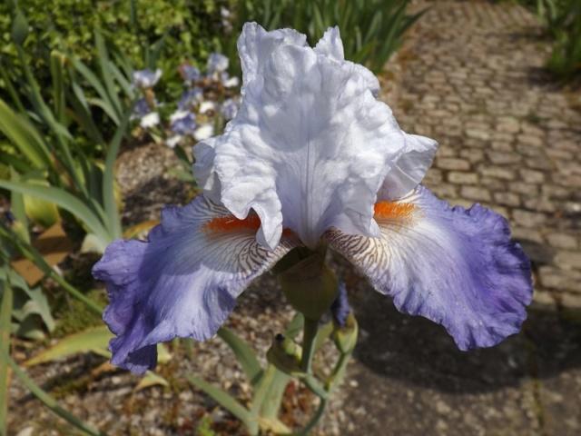 Les iris du Jardin Botanique de Mulhouse Dscf3648