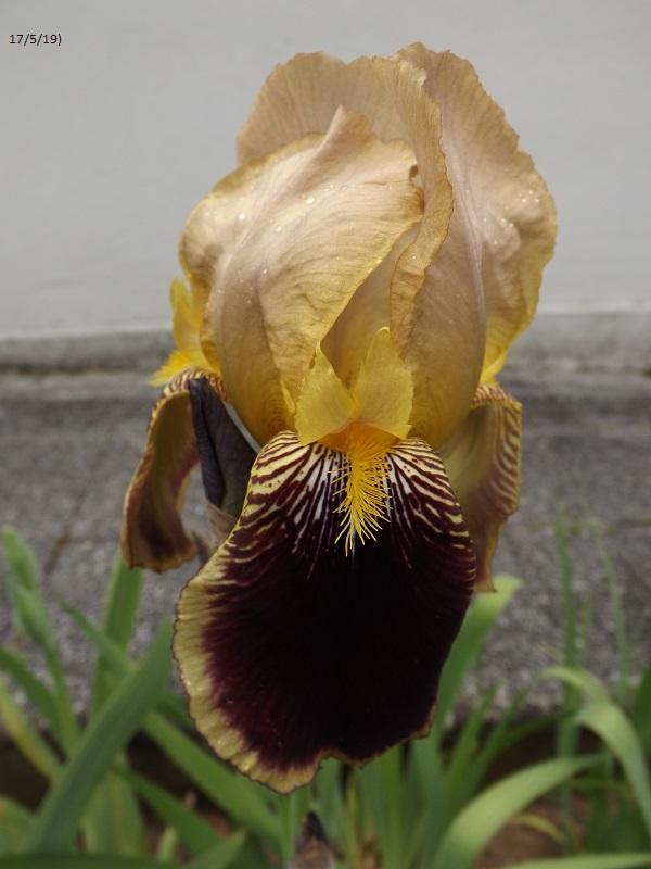 Iris variegata beige et violet - Flora [identification en cours] - Page 2 Dscf3710