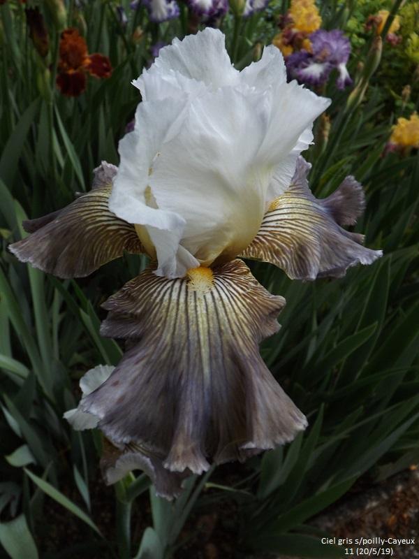 Iris 'Ciel Gris sur Poilly' - Cayeux 2011 Dscf3722