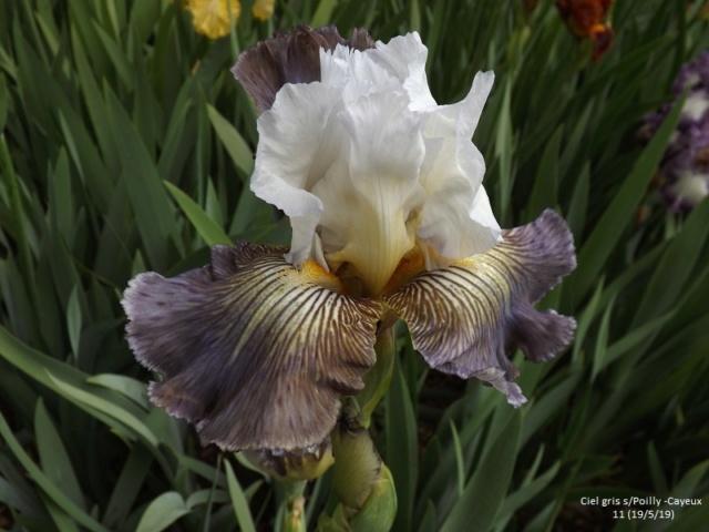 Iris 'Ciel Gris sur Poilly' - Cayeux 2011 Dscf3723